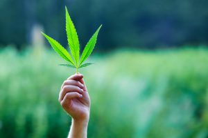 Hand holding a small marijuana leaf