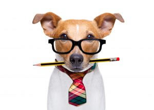 office worker businessman jack russell dog  as  boss and chef , with pencil or pen  in  mouth isolated on white background